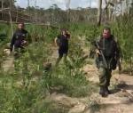 Polícia localiza plantação ilegal de maconha em Tailândia, no nordeste do Pará