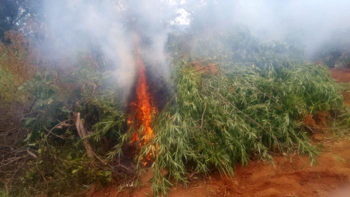 Operação erradica mais de 14 mil pés de maconha em Cabrobó, no Sertão de PE Toda a droga foi incinerada nos locais de plantio.